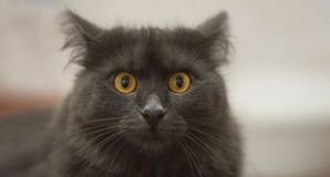 Nebelung cat closeup face royalty free stock photos
