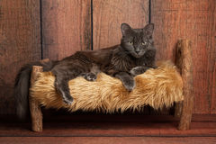 Nebelung Cat on a Little Wooden Bed stock image