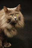 Nebelung cat Royalty Free Stock Images