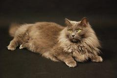 Nebelung cat Stock Photos