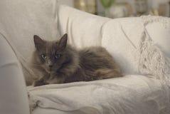 Nebelungs-Katze Lizenzfreie Stockfotografie