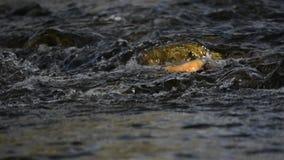 Nebenfluss, der über Felsen-Wasser läuft stock video footage