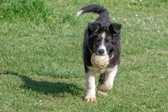 Neborn baby puppy border collie stock photography
