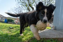 Neborn baby puppy border collie royalty free stock images