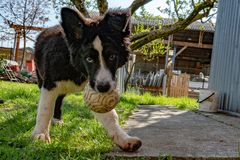 Neborn baby puppy border collie stock photo