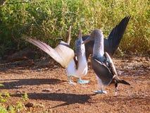 Nebouxii blu-footed della sula della testa di legno di Galapagos Immagine Stock Libera da Diritti