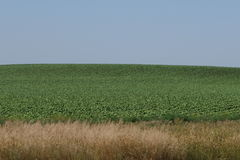 Nebraska green corn fields. Stock Photography