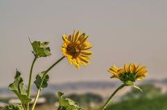 Nebraska słoneczniki obraz royalty free
