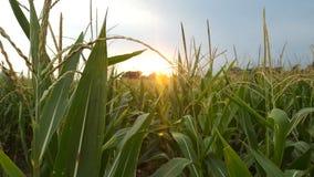 Nebraska-Sonnenuntergang auf dem Maisgebiet Stockfoto