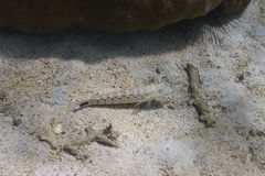 Nebulous Lizardfish at Lipe island Royalty Free Stock Photo