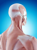 The neck anatomy Royalty Free Stock Image