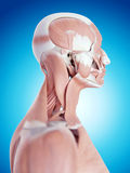 The neck anatomy Stock Photography