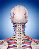 The neck anatomy Stock Images