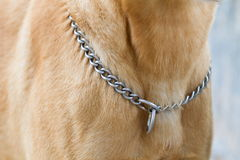 Neck chain of dog Royalty Free Stock Photos
