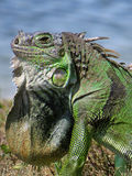 Neck Dewlap on Display Green Iguana by Lake in Profile. Extreme close-up of common Green Iguana by lake with neck dewlap on display profile view Stock Image
