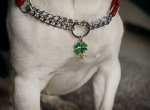 Neck of a dog with a collar and a charm of a leaf clover. Neck of a dog with a collar and a charm in the form of a leaf clover stock photos