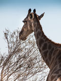 Neck. Giraffe in the Etosha National Park, Namibia Stock Photos