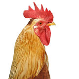 Neck and head bright rooster. Isolated over white background royalty free stock photos