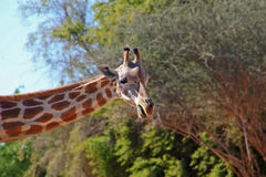 Neck and head of a giraffe Stock Photo