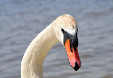 Neck and head of swan Stock Image