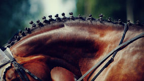 Neck of a horse. Neck of a sports brown horse with the braided mane stock photo