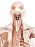 The neck muscles Stock Photos