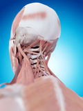 The neck muscles Stock Photography