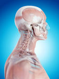 The neck muscles Royalty Free Stock Images