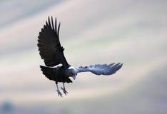 necked белизна ворона Стоковая Фотография