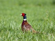 necked кольцо фазана Стоковые Фотографии RF