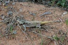 Necked Agama, Acanthocercus atricollis, Matopos park narodowy, Zimbabwe Fotografia Stock