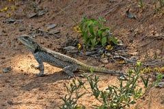 Necked Agama, Acanthocercus atricollis, Matopos park narodowy, Zimbabwe Zdjęcia Stock