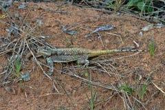 Necked Agama, Acanthocercus atricollis, Matopos park narodowy, Zimbabwe Zdjęcie Stock