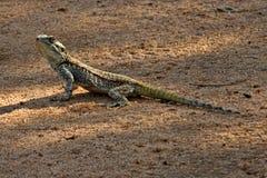 Necked Agama, Acanthocercus atricollis, Matopos park narodowy, Zimbabwe Obrazy Stock
