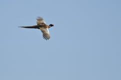 Necked bażanta latanie w niebieskim niebie Fotografia Royalty Free