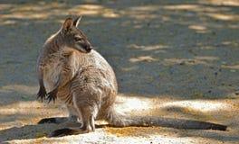 Necked Bennett ` s lub wallaby wallaby Macropus rufogriseus zdjęcia royalty free