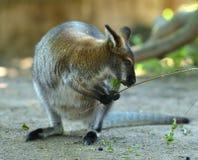 Necked Bennett ` s lub wallaby wallaby Macropus rufogriseus z gałązką Zdjęcia Stock