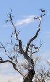 Necked ibisy przy Jeziornym Coogee Obraz Royalty Free
