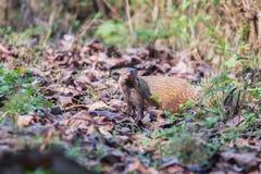 Necked mongoose λωρίδων Στοκ Φωτογραφίες