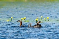 Necked perkozy z ich kurczątkami (Podiceps grisegena) Obraz Stock