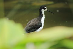 Necked Stilt Obraz Stock