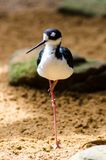 Necked Stilt Himantopus mexicanus Obrazy Royalty Free
