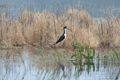 Necked Stilt Himantopus mexicanus 2 Obrazy Stock