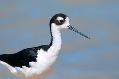 Necked Stilt Potrait, stoi w bagnie Oregon, usa Fotografia Stock