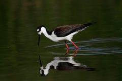 Necked Stilt ptak obrazy royalty free