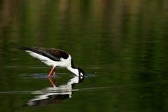 Necked Stilt ptak Zdjęcie Royalty Free
