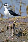 Necked Stilt w bagnie Obraz Royalty Free