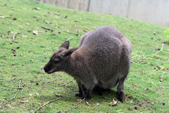 Necked wallaby obraz stock