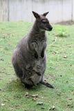 Necked wallaby fotografia stock