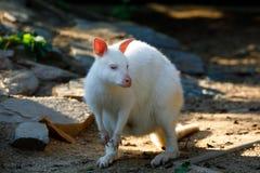 Necked Wallaby albinos obrazy stock